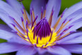 Waterlily close up Royalty Free Stock Photography