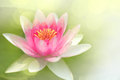 Waterlily closeup on a pink Royalty Free Stock Image
