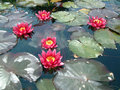 Waterlily flowers Royalty Free Stock Photo