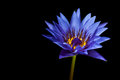 Waterlily isolated on a black background Royalty Free Stock Images