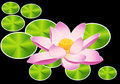 Waterlily or lotus flower Stock Photo