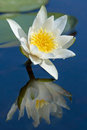 Waterlily reflected in water Royalty Free Stock Photo
