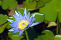 Waterlily yellow and blue against green leaves Royalty Free Stock Photos