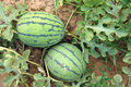 Watermelon the close up of two watermelons in melon patch Royalty Free Stock Photo