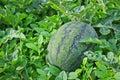Watermelon cultivation melon farm agriculture Royalty Free Stock Photos