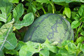 Watermelon cultivation melon farm agriculture Stock Photos