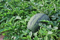 Watermelon cultivation melon farm agriculture Royalty Free Stock Image