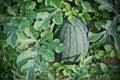 Watermelon cultivation melon farm agriculture Stock Photography