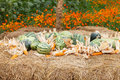 Watermelon and dry corn on a pile of straw. Stock Photos