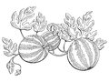 Watermelon graphic bush plant black white isolated sketch illustration