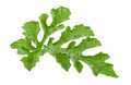 Watermelon leaf  on white background Royalty Free Stock Photo