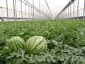 Watermelons on Almeria greenhouse. Royalty Free Stock Photo