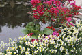 Waterside bougainvillea and narcissus the Stock Photo