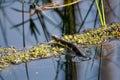 Watersnake In Okefenokee Swamp