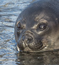 The watery eyes of a young atlantic fur seal in early morning light Stock Photo