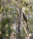 Wattle bird on a branch little brush perched the of tree Royalty Free Stock Images