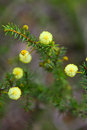 Wattle seedling acacia decurrens close up on a small growing in blue mountains nsw australia flowers of this variety are fluffy mm Stock Image