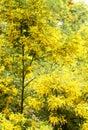 Wattle Trees Royalty Free Stock Photo