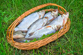 Wattled basket with the caught fish on the river bank a green grass hooked in is situated of Royalty Free Stock Photography