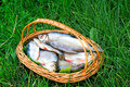 Wattled basket with the caught fish on the river bank a green grass hooked in is situated of Stock Photo