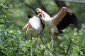 The wattled crane bugeranus carunculatus is a large bird found in africa south of sahara desert photo from zoo Stock Images