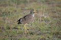 Wattled Plover Stock Images