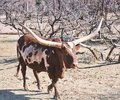 Watusi African cow with large horns Royalty Free Stock Photo