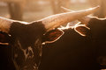 Watusi bull - bos taurus Royalty Free Stock Photo