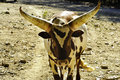 Watusi Cattle Royalty Free Stock Photo