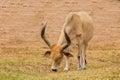 Watusi cattle Royalty Free Stock Photo