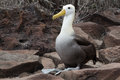 Waved albatross espanola a beautiful sits in waiting for its mate on isla galapagos Stock Image