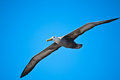 Waved albatross in flight at Española, Gapalagos Stock Photo