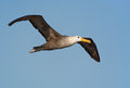 Waved albatross in Galapagos Royalty Free Stock Image