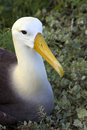 Waved Albatross - Galapagos Islands Royalty Free Stock Images