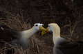 Waved Albatross (Phoebastria irrorata), Galapagos Islands Stock Image
