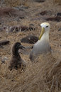 Waved Albatross (Phoebastria irrorata), Galapagos Islands Royalty Free Stock Photo