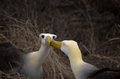 Waved Albatross (Phoebastria irrorata), Galapagos Islands Royalty Free Stock Image