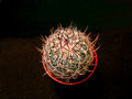 Wavy edged cactus stenocactus echinofossulocactus is a native to central mexico it can grow to cm inches in diameter the plant is Royalty Free Stock Images