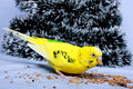 A wavy parrot eats a corn. Royalty Free Stock Photography