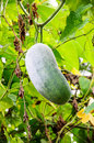 Wax gourd or chalkumra in a vegetable garden Royalty Free Stock Image