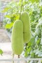 Wax gourd in a  garden Royalty Free Stock Photo