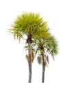 Wax palm copernicia alba palm tree isolated on white background Stock Photo