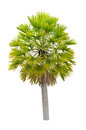 Wax palm copernicia alba palm tree isolated on white background Royalty Free Stock Photo