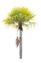 Wax palm copernicia alba palm tree isolated on white background Stock Photos