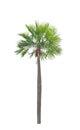 Wax palm copernicia alba palm tree isolated on white background Royalty Free Stock Image