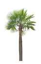 Wax palm copernicia alba palm tree isolated on white background Royalty Free Stock Photo