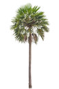Wax palm copernicia alba palm tree on white background Stock Photography