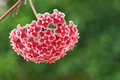 Wax plant (Hoya Pubicalyx) Royalty Free Stock Photo