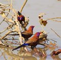 Waxbills, Violeteared - African Colors Royalty Free Stock Photography