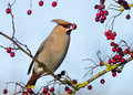 Waxwing (Bombycilla garrulus) Royalty Free Stock Photo